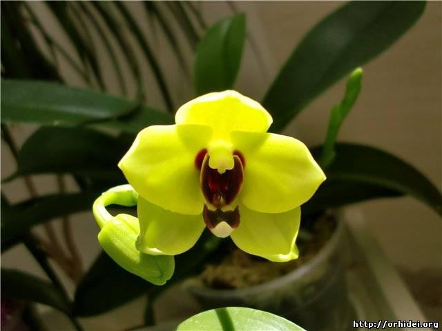 Как добиться цветения орхидее в домашних условиях 275