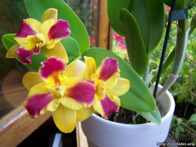 Как добиться цветения орхидее в домашних условиях 199